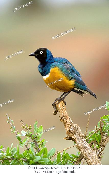 Superb Starling - Taita Hills, Kenya