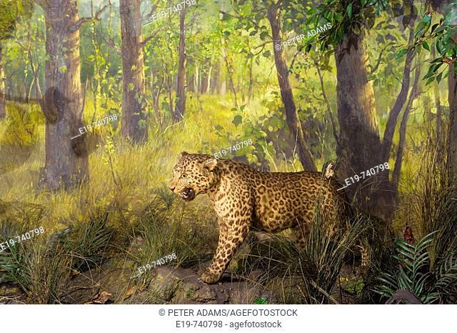 Indian Museum, Leopard. Kolkatta (Calcutta). West Bengal, India