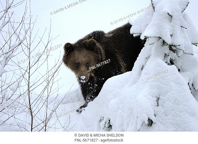 European brown bear Ursus arctos arctos in snow