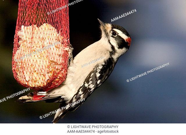 Hairy Woodpecker on feeder (Picoides villosus) Northern Minnesota