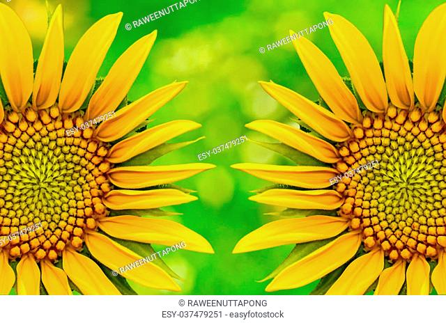 Two sunflower closeup on green nature background