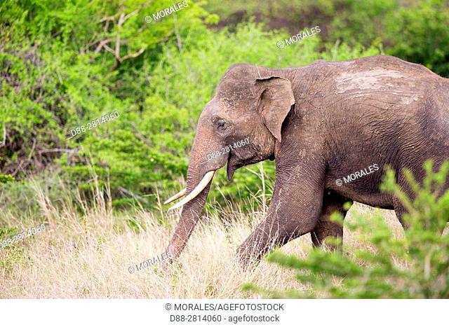 Sri Lanka, Northwest Coast of Sri Lanka, Sri lankan elephant (Elephas maximus maximus),