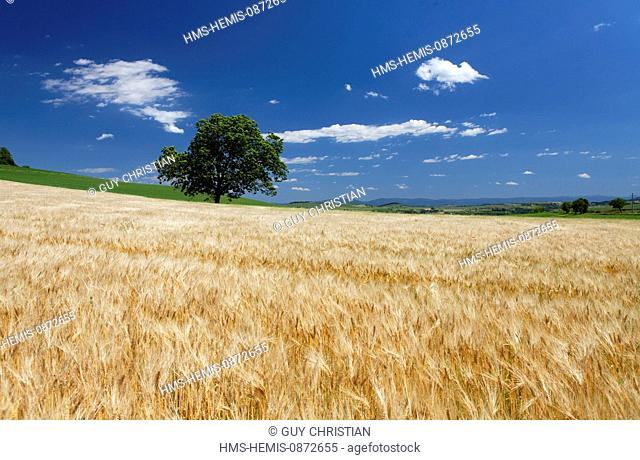 France, Puy de Dome, isolated tree and crop field
