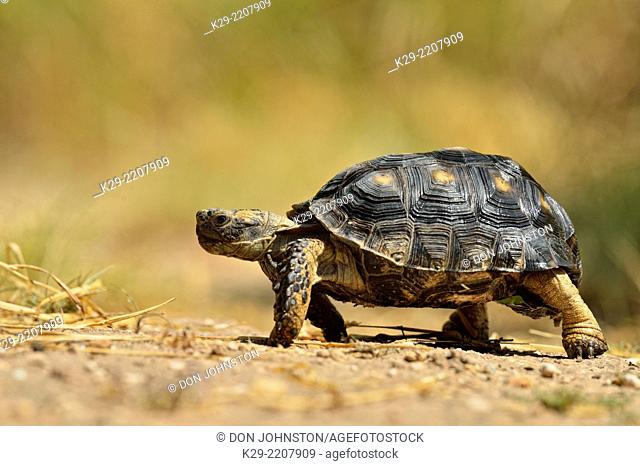 Texas Tortoise (Gopherus berlandieri), Rio Grande City, Texas, USA