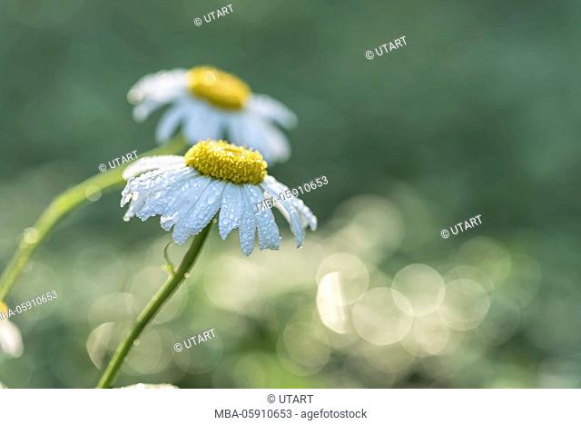 Meadow, marguerites, blossoms, detail, dewdrop, morning light, blur