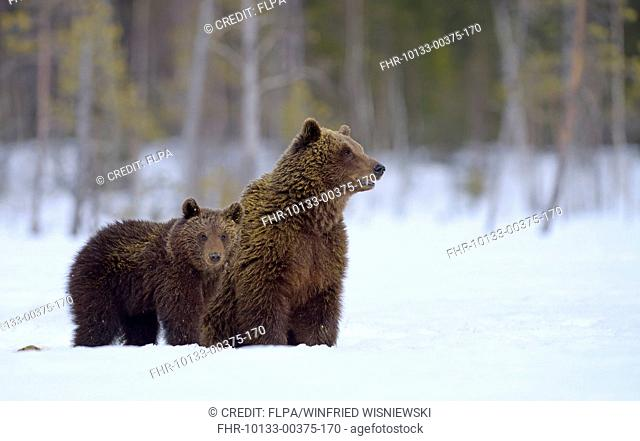 European Brown Bear (Ursus arctos arctos) adult female and cub, on snow covered bog at edge of forest, Northeastern Finland, April