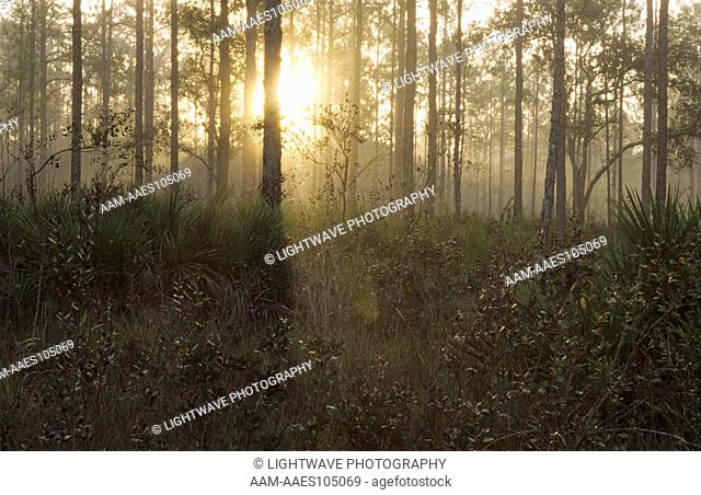Foggy Sunrise in Pine Flatwoods, Highlands Hammock SP