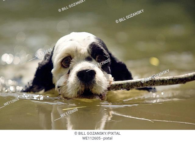Cute Spaniel Puppy Swimming with Stick - Cedar Mountain, North Carolina, USA