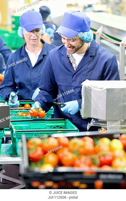 Workers inspecting and packing tomatoes in food processing plant