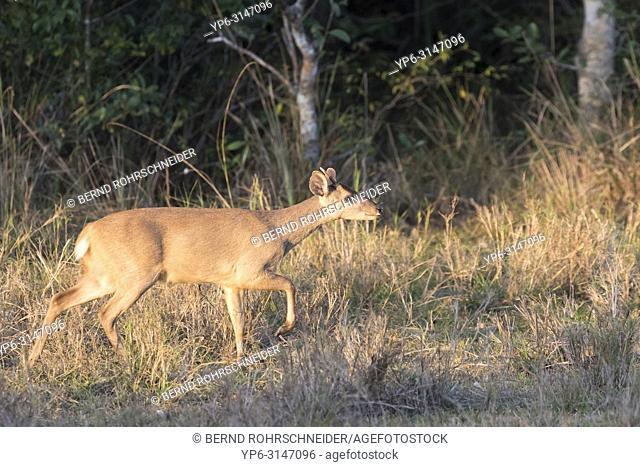Gray brocket deer (Mazama gouazoubira), adult, Pantanal, Mato Grosso, Brazil