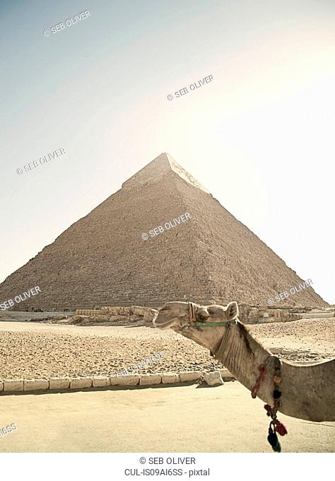 Camel in front of the great pyramid of Giza, Egypt, North Africa