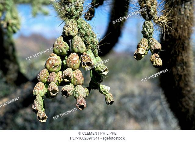 Close up of fleshy, green fruits from the hanging chain cholla / jumping cholla (Cylindropuntia fulgida / Opuntia fulgida) native to the Southwestern United...
