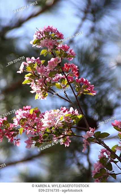 pink fruit tree blossoms, Monroe County, IN