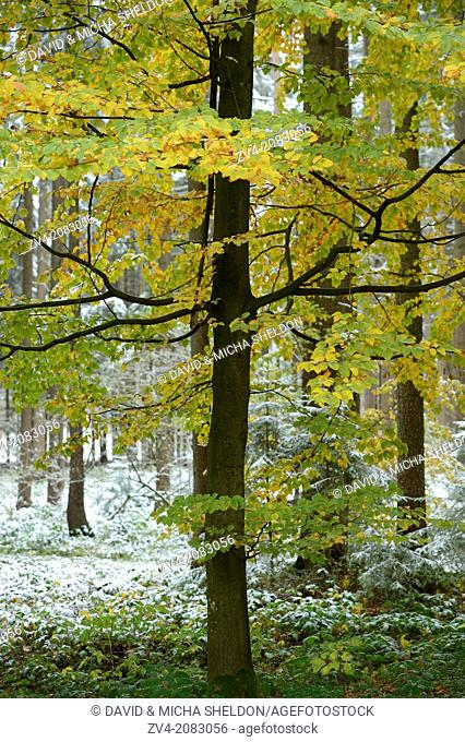 Landscape of an old European beech or common beech (Fagus sylvatica) tree in a forest in autumn, Upper Palatinate, Bavaria, Germany