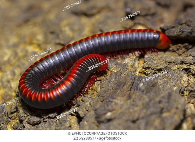 Red millipede, Diplopoda. Location:- Pondicherry, Tamilnadu, India