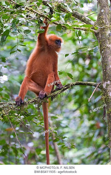Maroon leaf monkey, Red leaf monkey (Presbytis rubicunda), on a branch on a tree, Malaysia, Borneo, Sabah, Danum valley