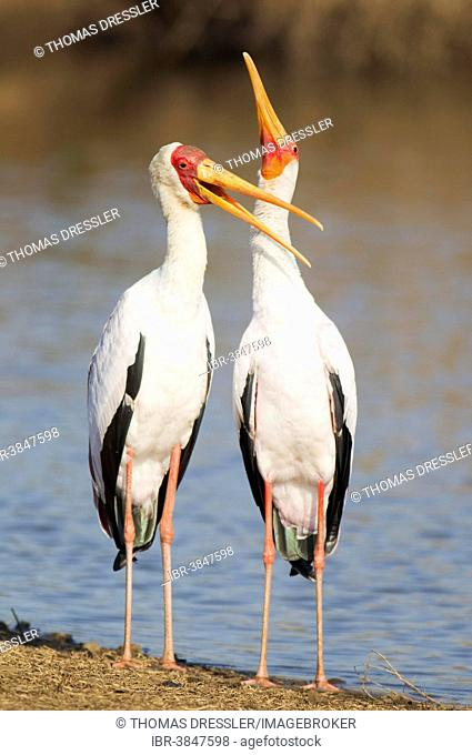 Yellow-billed Stork (Mycteria ibis), pair, male on the left, during the breeding season, at the lakeshore, Sunset Dam, Kruger National Park, South Africa