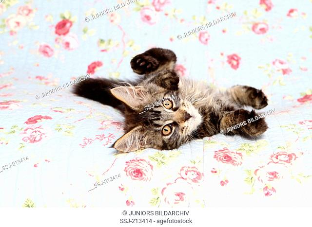 American Longhair, Maine Coon. Kitten lying on a blue blanket with rose flower print. Germany