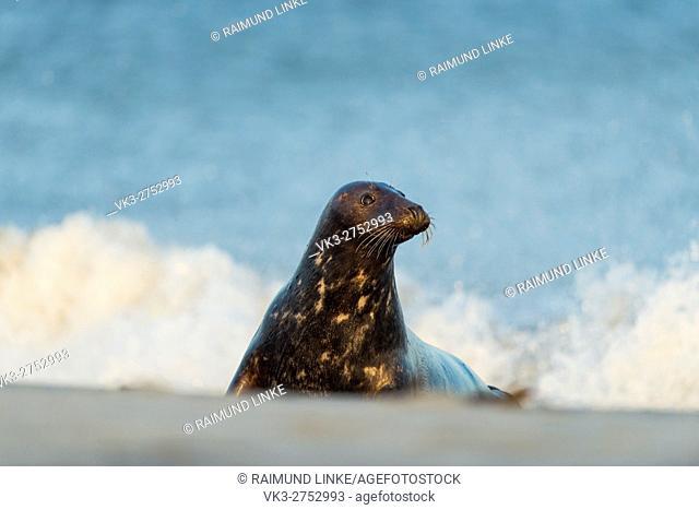 Grey Seal, Halichoerus grypus, Female in Surf, Europe