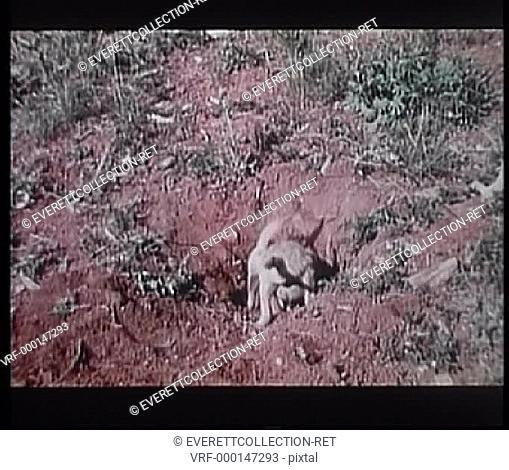 Two baby coyotes digging a hole in the wilderness