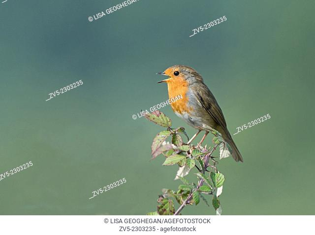 Robin,Erithacus rubecula singing. Spring. Uk