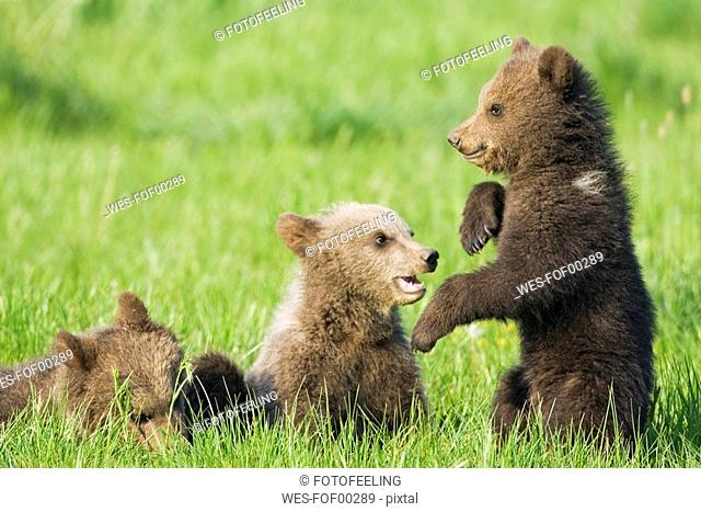 European Brown Bear Cubs Playing Ursus arctos, close-up