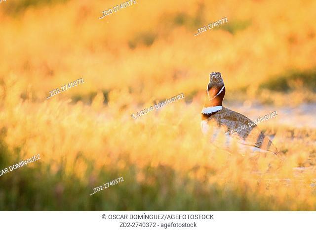 Little Bustard (Tetrax tetrax) male hidden by grasses, face visible. Lleida province. Catalonia. Spain