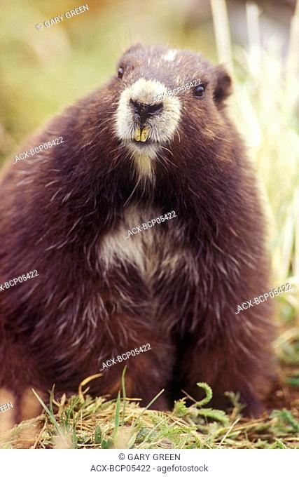 Vancouver Island marmot at the Green Mountain summit colony, British Columbia, Canada