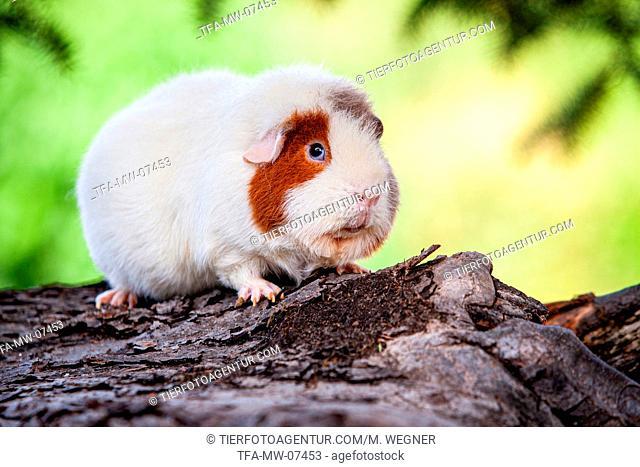 US Teddy guinea pig on tree trunk