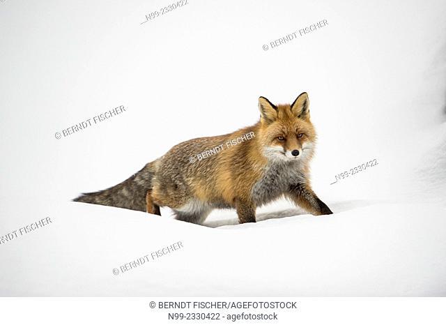Fox (Vulpes vulpes) in snow, winter fur, National Park Gran Paradiso, Italy