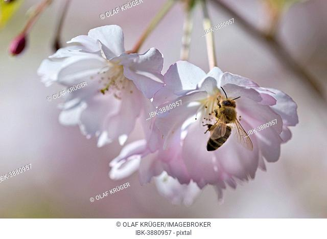 Blossoming Japanese Cherry (Prunus serrulata) with a bee