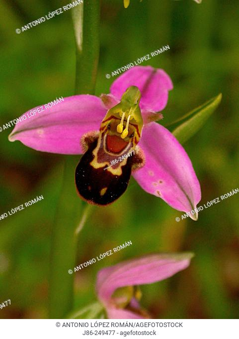 Orchid (Ophrys apifera)