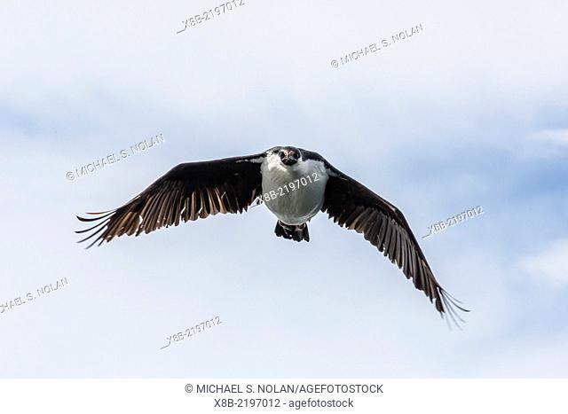 Antarctic shag, Phalacrocorax [atriceps] bransfieldensis, in flight formation near Petermann Island, Antarctica