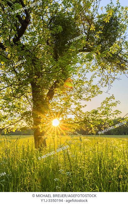 Apple tree at sunset, Hesse, Germany, Europe
