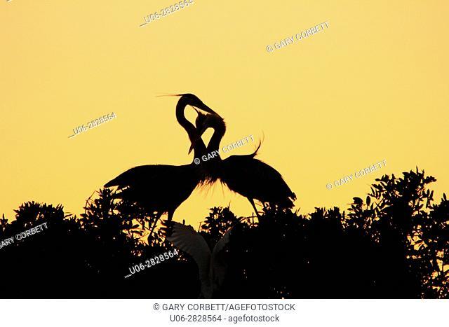 bird, birds, herons, great blue herons, nest, nesting, love, sunset, usa, florida, venice, heronry, rookery
