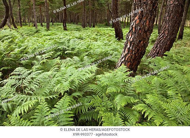 Forest in Burgos. Spain