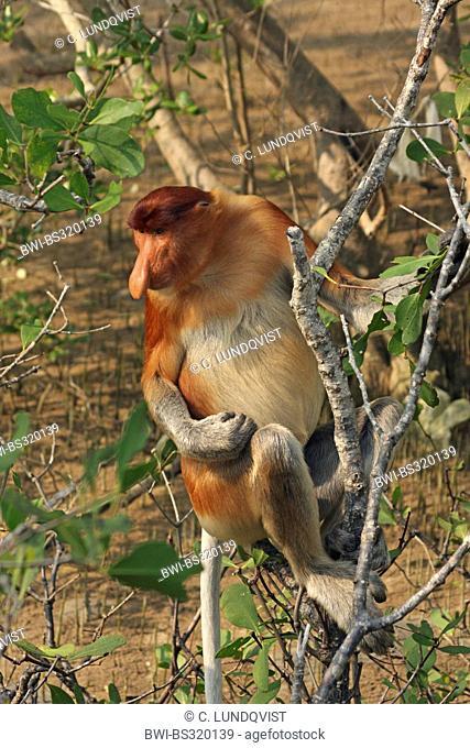 proboscis monkey (Nasalis larvatus), sitting on a tree, Malaysia, Sarawak, Bako National Park