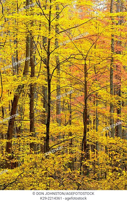 Autumn colour in the hardwood forest on the Laurel Creek Road, Great Smoky Mountains NP, Tennessee, USA