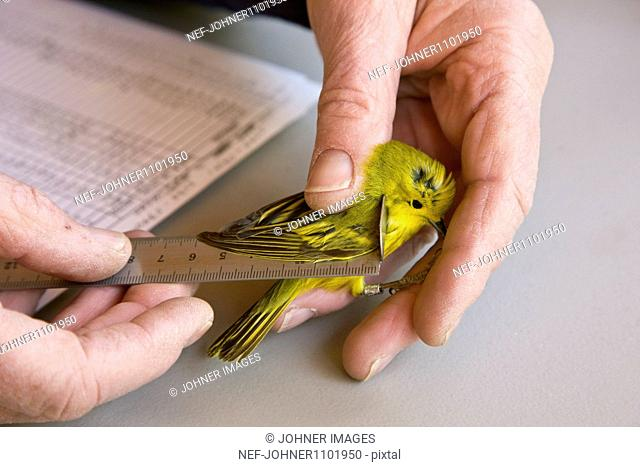 Man holding bird and measuring its wing