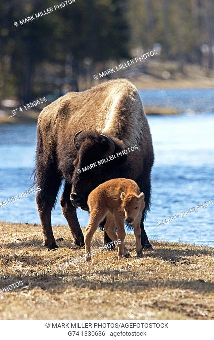 Newborn Bison Calf and Mother by Madison River Yellowstone National Park USA
