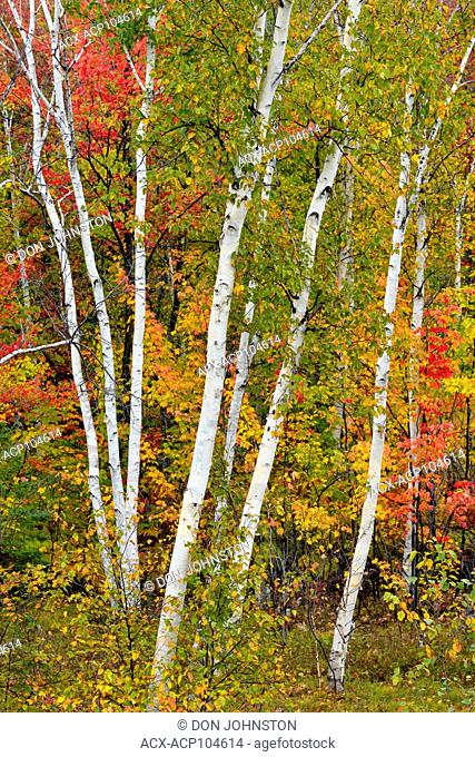Birch woodland with autumn maple trees, Greater Sudbury, Ontario, Canada