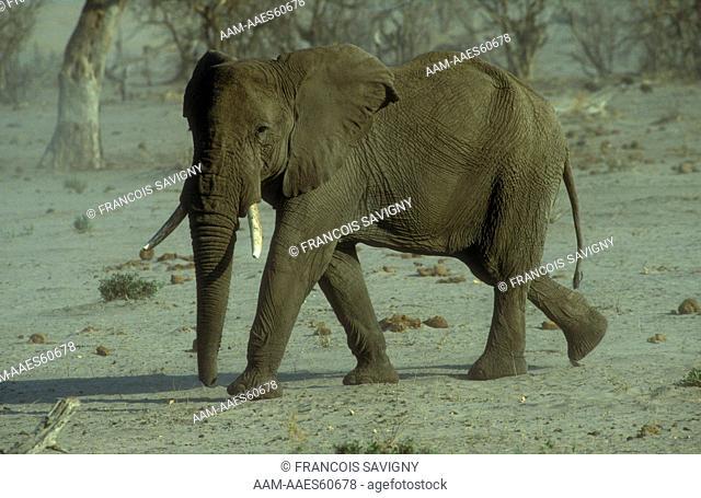 Bull Elephant (Loxodonta africana) walking towards waterhole, Savuti NP, Botswana