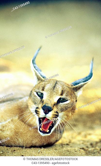 Caracal Caracal caracal - Yawning  Tsaobis Leopard Nature Park, Namibia
