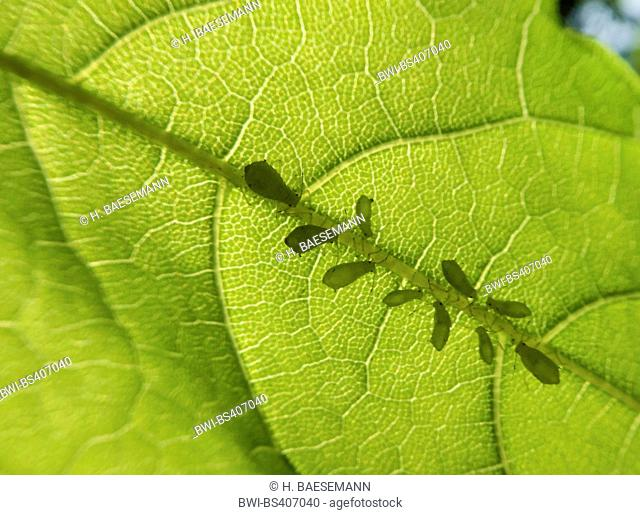 aphids and greenflies etc. (Aphidoidea), aphids on a leaf, Germany