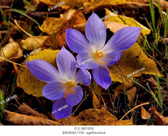 Autumn crocus, Bieberstein's crocus (Crocus speciosus), blooming, Germany, Saxony
