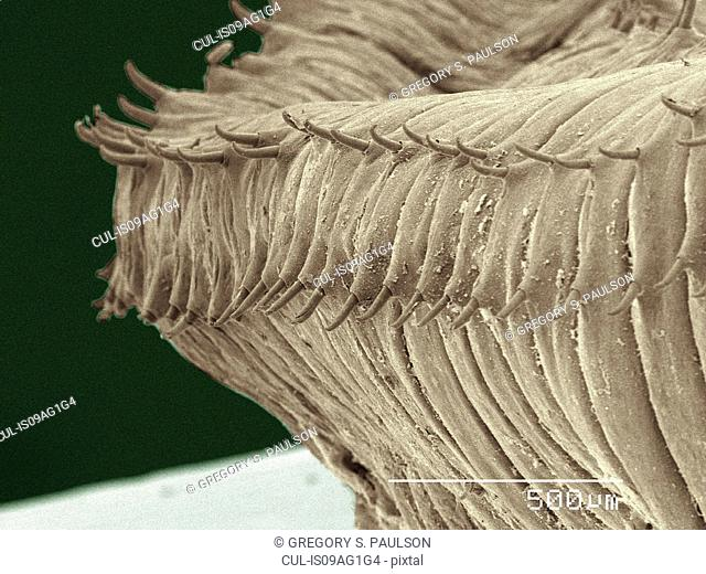 Coloured SEM of earthworm