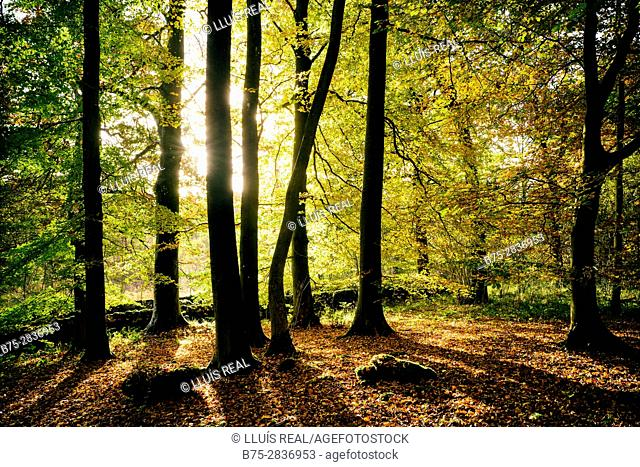 Backlit forest in autumn. Grass Wood, Grassington, North Yorkshire, Yorkshire Dales, Skipton, UK