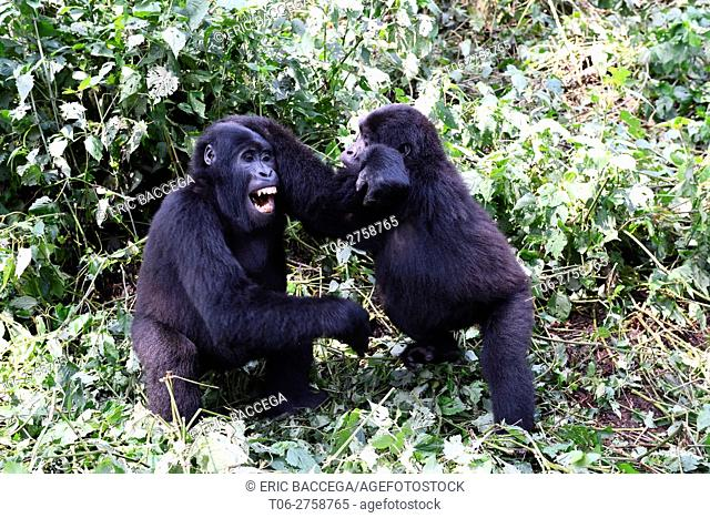 Two young mountain gorilla (Gorilla beringei beringei) playing in the Bwindi Impenetrable Forest National Park, Uganda. Africa