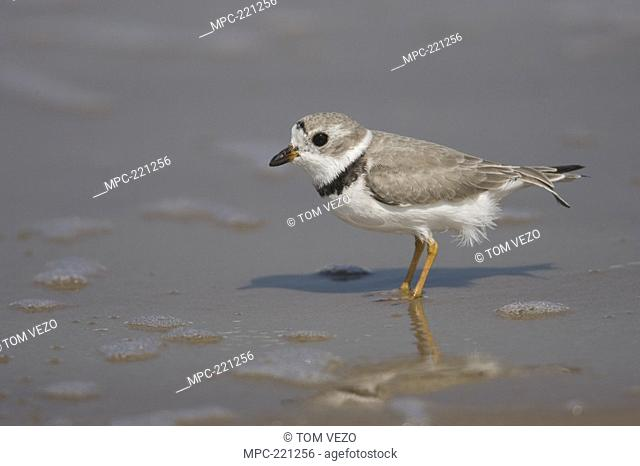 Piping Plover Charadrius melodus wading in shallow water, Rio Grande Valley, Texas