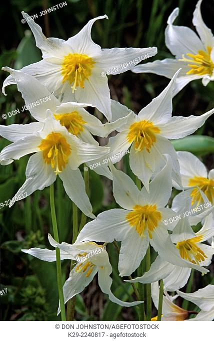 Avalanche lilies (Erythronium montanum), Mt. Rainier National Park, Washington, USA